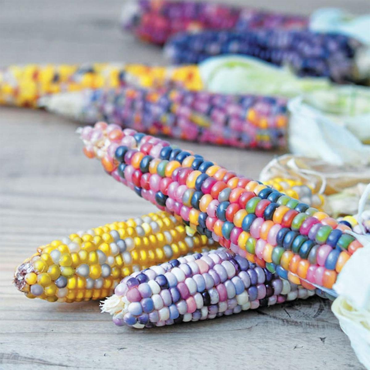 Regenbogen-Maiskolben Aufzuchtset