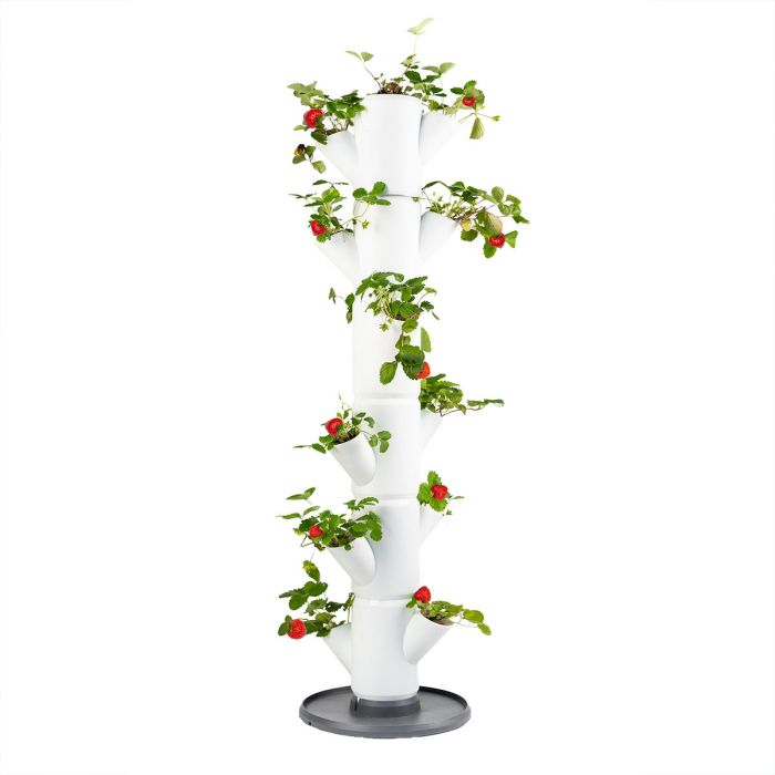 Sissi Erdbeerbaum für Balkon oder Terrasse