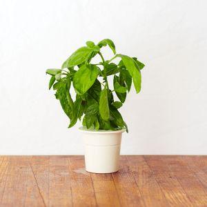Nachfüll Packs für Click & Grow Smarter Kräutergarten für drinnen